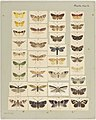 MA I437910 TePapa Plate-XLIX-The-butterflies full.jpg
