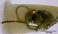 MNHNA30163 Haidomyrmodes mammuthus 01.jpg