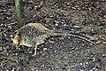 Ma - Female Chrysolophus pictus - 1.jpg