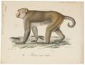 Macacus erythraeus - 1818-1842 - Print - Iconographia Zoologica - Special Collections University of Amsterdam - UBA01 IZ20000083.tif