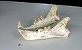 Machairodus aphanistus female mandible- Batallones 1 fossil site, Torrejón de Velasco, Madrid, Spain.jpg