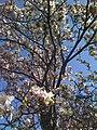 Magnolia (tree).jpg