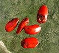 Magnolia grandiflora seeds.jpg