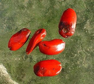 Magnolia grandiflora - Individual seeds