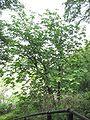 Magnolia hypoleuca 1.jpg