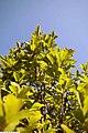 Magnolia liliflora Nigra 4zz.jpg
