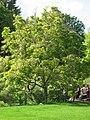Magnolia x soulangeana 05 by Line1.jpg