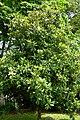 Magnolio (Magnolia grandiflora) - Flickr - Alejandro Bayer (1).jpg