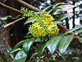Mahonia aquifolium Berlin.jpg