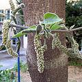 Male inflorescence of Broussonetia.jpg