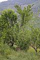 Malus domestica - Apple Trees - Kullu - 2014-05-09 2199.JPG