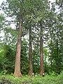 Mammutbäume - panoramio.jpg