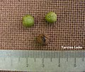 Maprounea guianensis, pinga-orvalho - Flickr - Tarciso Leão (2).jpg
