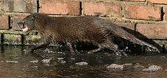 Marsh mongoose or water mongoose, Atilax paludinosus, at Rietvlei Nature Reserve, Gauteng, South Africa (22778481850).jpg