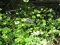 Marsilea quadrifolia - European water clover.jpg