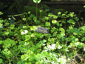Description de l'image Marsilea quadrifolia - European water clover.jpg.