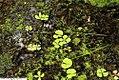 Marsilea quadrifolia 2zz.jpg