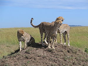 Young cheetahs in Masai Mara