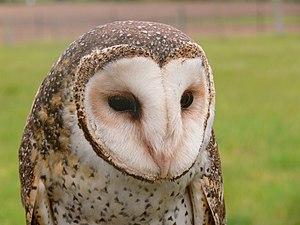 English: A Masked owl Tyto novaehollandiae, ta...