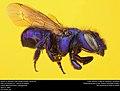 Mason Bee or Blueberry Bee (Megachilidae, Osmia sp.) (33191837642).jpg
