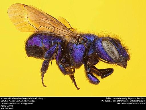 Mason Bee or Blueberry Bee (Megachilidae, Osmia sp.)