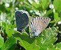 Mating Black-eyed Blues. Glaucopsyche melanops - Flickr - gailhampshire.jpg