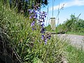 Meadow Sage - panoramio (1).jpg
