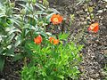 Meconopsis cambrica red - Flickr - peganum.jpg