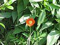 Meconopsis cambrica red - Flickr - peganum (1).jpg