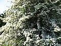 Meidoorn in bloei.jpg