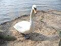 Mein Lieber Schwan (Swan) - geo.hlipp.de - 35182.jpg
