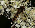 Meliscaeva.auricollis1.jpg