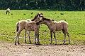 Merfeld, Merfelder Bruch, Dülmener Wildpferde, Fohlen -- 2021 -- 9358.jpg