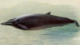Cetacea  Wikipedia