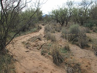 Mesquite Bosque - Mesquite Bosque south of Tucson, Arizona.