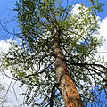 Metasequoia glyptostroboides-IMG 6545.JPG