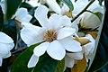 Michelia doltsopa2.jpg