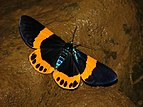Milionia basalis Day flying Moth from Namdapha Tiger Reserve, Arunachal Pradesh.jpg