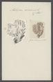 Millepora alcicornis - - Print - Iconographia Zoologica - Special Collections University of Amsterdam - UBAINV0274 111 07 0004.tif