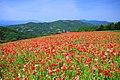 Minano Papaver Rhoeas Field 2.jpg