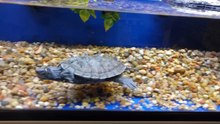 File:Mississippi map turtle swimming in tank.gk.webm