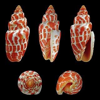 <i>Mitra stictica</i> species of mollusc
