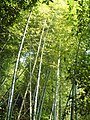 Mogan Mountain - Bamboo Sea - panoramio - CyberCop.jpg