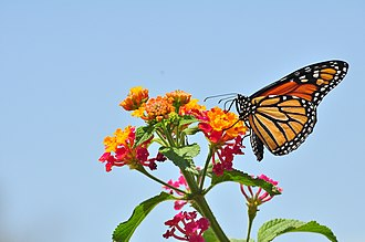 Lantana - Lantana can be used in butterfly gardening.