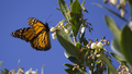 Monarch Butterfly Another View (6254400781).png
