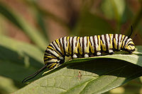 Monarch Butterfly Danaus plexippus Feeding Down 3008px.jpg