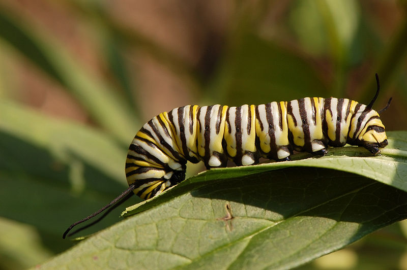 Ficheiro:Monarch Butterfly Danaus plexippus Feeding Down 3008px.jpg