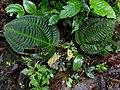 Monolena primuliflora (Melastomataceae) (29636221774).jpg