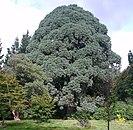Montezuma Pine at Sheffield Park.jpg