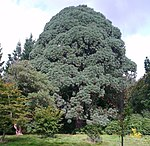 Montezuma Pine at Sheffield Park.jpg